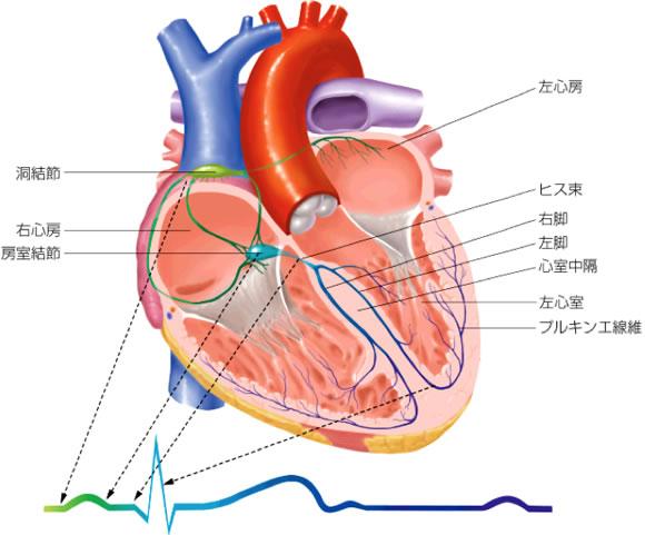 図:心臓ペースメーカー(洞結節)と刺激伝導系