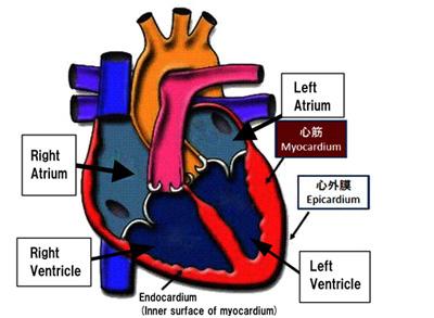 何 科 心臓