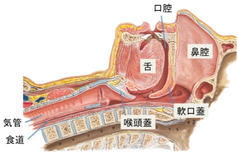 図:上気道の解剖(正常)