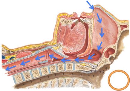 図:正常人の睡眠時における気道状態(青矢印は空気の流れを示す)