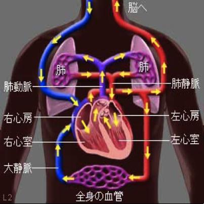 図:心臓ポンプ作用と全身・肺循環の関係